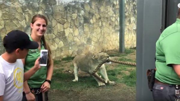 Τρεις επαγγελματίες παλαιστές τα έβαλαν με μία λιονταρίνα και έχασαν